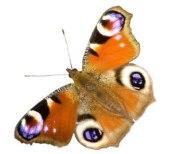 Mariposa. Tempo de vida: 1 dia